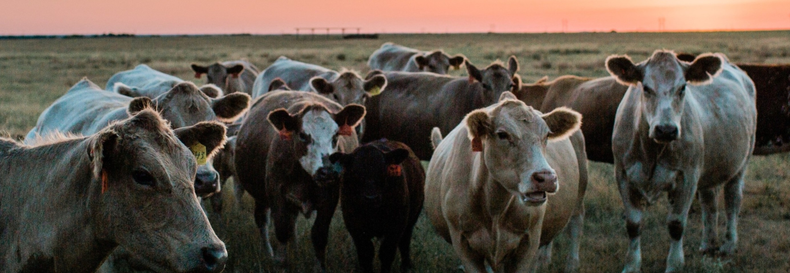 Collins Cattle
